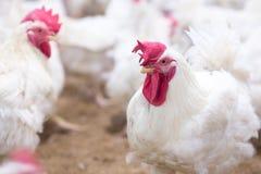Affare dell'azienda avicola allo scopo di coltivare carne Immagine Stock