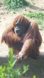 Affare di scimmia Fotografia Stock Libera da Diritti