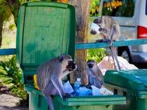 Affare di scimmia Immagini Stock