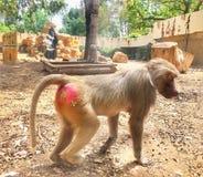 Affare di scimmia Fotografie Stock