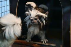 Affe-Ödipus-Tamarin Stockbilder