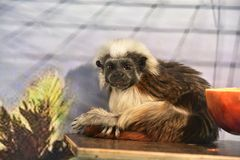 Affe-Ödipus-Tamarin Lizenzfreies Stockfoto