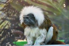 Affe-Ödipus-Tamarin Lizenzfreie Stockbilder
