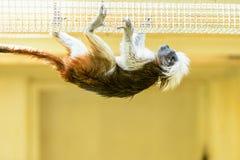 Affe-Ödipus-Tamarin Stockfoto