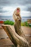 Affe über Stamm in Arashiyama-Berg Stockfotografie