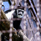 Affe überzogenes guereza Lizenzfreies Stockbild