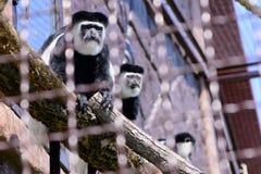 Affe überzogenes guereza Lizenzfreie Stockbilder