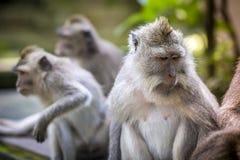 Affe am Affe-Wald Stockfoto