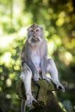 Affe am Affe-Wald Stockbild