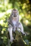 Affe am Affe-Wald Lizenzfreies Stockfoto