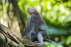 Affe am Affe-Wald Lizenzfreies Stockbild