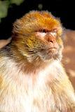 Affe in Afrika Marokko und natürlicher Hintergrund Lizenzfreie Stockfotos