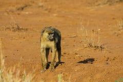Affe in Afrika-wild lebenden Tieren Stockfotos
