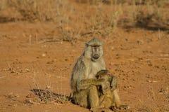 Affe in Afrika-wild lebenden Tieren Stockfotografie