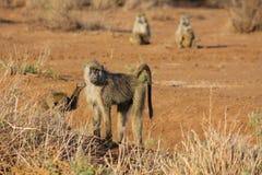 Affe in Afrika-wild lebenden Tieren Stockfoto