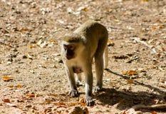 Affe in Afrika-wild lebenden Tieren Lizenzfreie Stockfotografie
