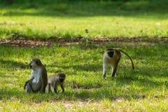 Affe in Afrika-wild lebenden Tieren Lizenzfreies Stockfoto