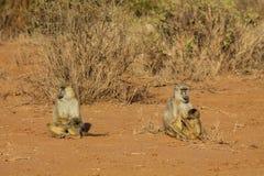 Affe in Afrika-wild lebenden Tieren Stockbilder