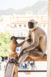 Affe in Amer Fort Lizenzfreies Stockfoto