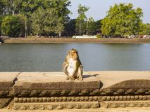 Affe in Angkor Wat Temple Stockfoto