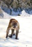 Affe auf Affe-Strand-Phi-Phi Lizenzfreies Stockfoto