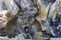 Affe auf Affe-Strand-Phi-Phi Stockfotografie