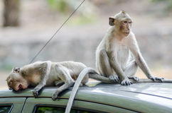 Affe auf Autodach Stockfotografie