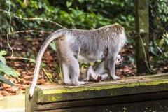 Affe auf Bali, das sein Baby trägt Stockfotos