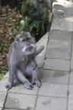Affe auf Bali-Insel Stockfoto