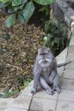 Affe auf Bali-Insel Stockfotos