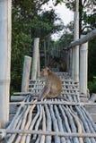 Affe auf Bambusbrücke Stockfotografie