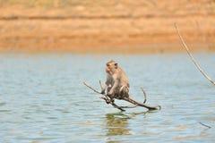 Affe auf Bauholz Lizenzfreies Stockfoto
