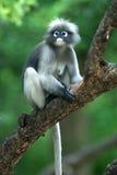 Affe auf Baum (Presbytis Obscura Reid). Stockbilder