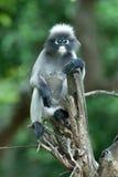 Affe auf Baum (Presbytis Obscura Reid). Lizenzfreie Stockfotografie