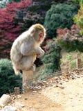 Affe auf Beitrag Lizenzfreie Stockfotografie