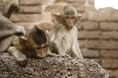 Affe auf dem Altbau Stockfoto