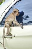 Affe auf dem Auto Stockfotografie