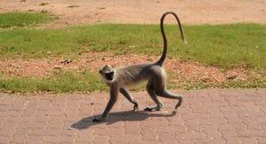 Affe auf dem Bürgersteig Stockbilder
