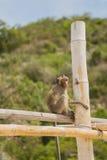 Affe auf dem Bambusstock Lizenzfreie Stockfotos