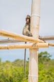 Affe auf dem Bambusstock Stockfotos