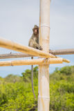 Affe auf dem Bambusstock Lizenzfreie Stockbilder