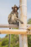 Affe auf dem Bambusstock Lizenzfreies Stockbild