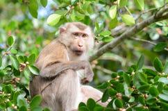 Affe auf dem Banyanbaum Stockbild