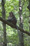 Affe auf dem Baum Stockfotos
