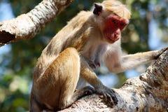Affe auf dem Baum, der herum schaut Stockbilder
