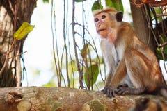 Affe auf dem Baum, der herum schaut Lizenzfreies Stockbild