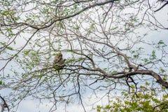 Affe auf dem Baum, Kambodscha Stockbilder