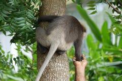 Affe auf dem Baum nimmt Lebensmittel von der menschlichen Hand Stockbild