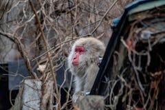 Affe auf dem Dach Stockbilder