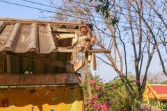 Affe auf dem Dach Stockfotos